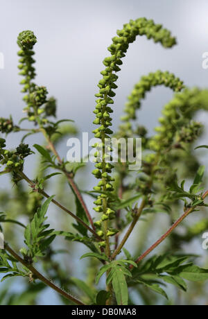 The picture shows pollen on a plant of common ragweed (Ambrosia artemisiifolia), Cottbus, Germany, 11 September - Stock Photo