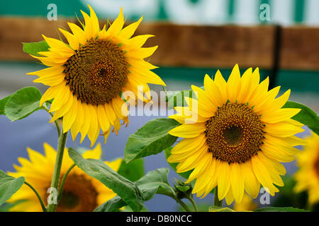 Alcester, Warwickshire. 21st July, 2013. Sunflowers at at the CLA Game Fair, Ragley Hall, Alcester, Warwickshire, - Stock Photo