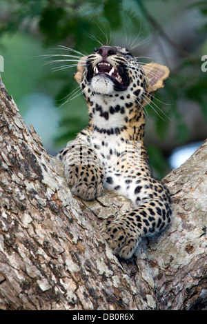 Sri Lankan leopard cub in the fork of a tree   (Panthera pardus kotiya) - Stock Photo