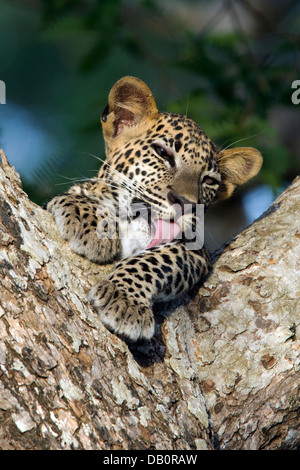 Sri Lankan leopard cub in the fork of a tree licking his paws - Stock Photo