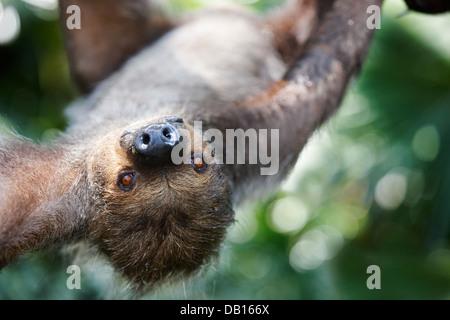 two toed sloth at Singapore Zoo Choloepus didactylus Stock