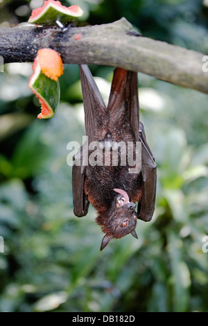 Malayan flying fox, or fruit bat in Singapore Zoo. Scientific name: Pteropus vampyrus. - Stock Photo