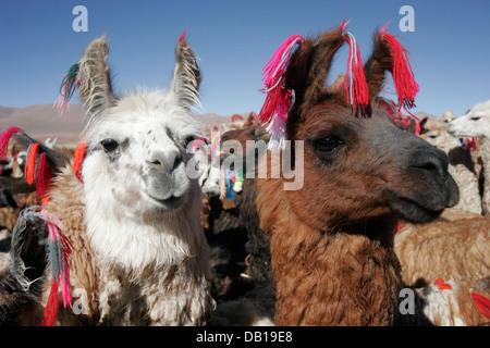 Herd of llamas and alpacas, Bolivian Altiplano, Bolivia, South America - Stock Photo