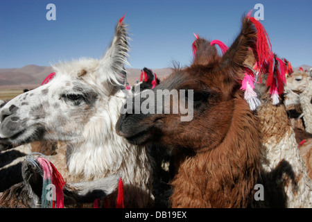 Herd of llamas and alpacas, Bolivian Altiplano, Bolivia, South America - Stock Photo