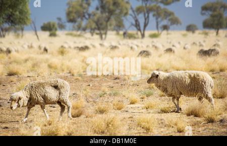 Merino sheep feeding in dry grassland in outback Queensland, Australia - Stock Photo
