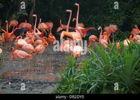 Caribbean, or American Flamingos. Scientific name: Phoenicopterus ruber. Jurong Bird Park, Singapore. - Stock Photo