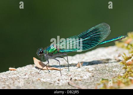 Male Banded Demoiselle (Calopteryx splendens) Summer Uk - Stock Photo