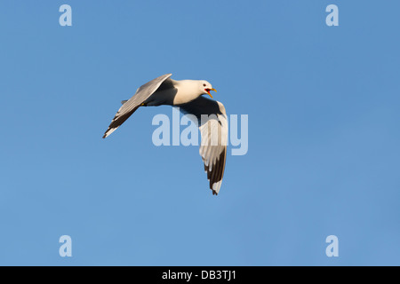 Common Gull; Larus canus; Shetland; UK - Stock Photo