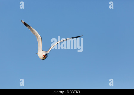 Common Gull; Larus canus; in Flight; Shetland; UK - Stock Photo
