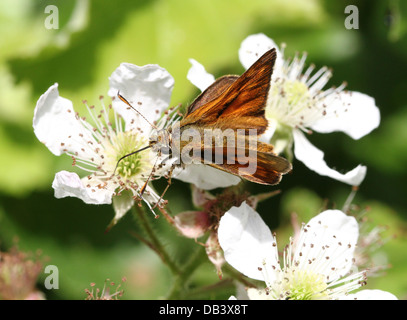 Macro close-up of a  male Large Skipper butterfly (Ochlodes sylvanus) foraging on a blackberry  flower - Stock Photo