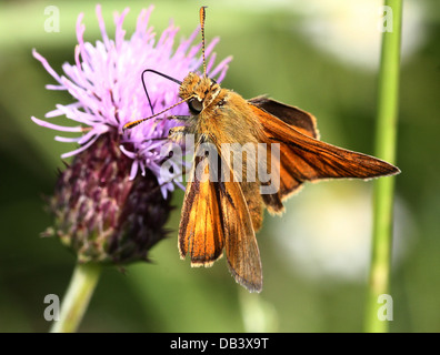Macro close-up of a  male Large Skipper butterfly (Ochlodes sylvanus) foraging on a thistle flower - Stock Photo