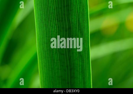 Iris leaf closeup - Stock Photo