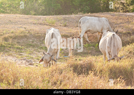 Cows eat grass in the field - Stock Photo