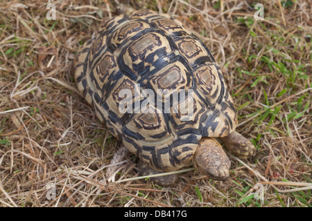 Leopard Tortoise (Geochelone pardalis). Carapace showing disruptive pattern of markings which break up and camouflage - Stock Photo