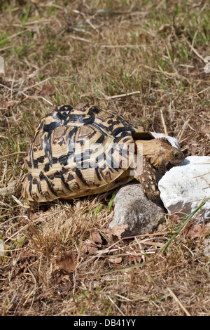 Leopard Tortoise (Geochelone pardalis). Rasping and consuminging chunks of limestone in order to satisfy need for - Stock Photo