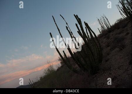 June 13, 2013 - Lukeville, Arizona, United States - An organ pipe cactus seen in a closed-to-the-public part of - Stock Photo