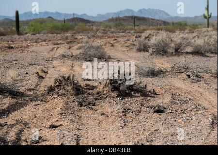 June 13, 2013 - Lukeville, Arizona, United States - Organ Pipe National Monument conservation employees have established - Stock Photo