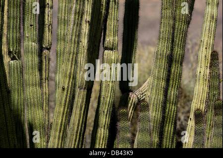 June 13, 2013 - Lukeville, Arizona, United States - An organ pipe cactus is seen at Organ Pipe National Monument - Stock Photo