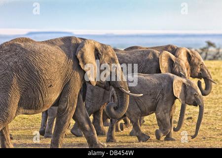 African Elephants Herd peacefully walking through the masai mara, in Kenya, Africa - Stock Photo
