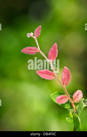 Closeup of red plant leaves against soft green background - Stock Photo