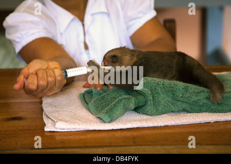 Caretaker feeding baby orphan Hoffmann's Two-toed Sloth (Choloepus hoffmanni) in sloth nursery - Stock Photo