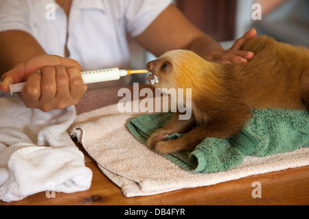 Caretaker feeding baby orphan sloth at the Sloth Sanctuary of Costa Rica (Hoffmann's Two-toed Sloth, Choloepus hoffmanni) - Stock Photo