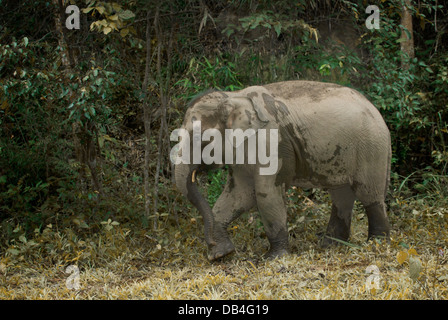The endangered Asian or Asiatic elephant (Elephas maximus) is the only living species of the genus Elephas - Stock Photo