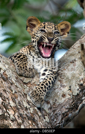 Sri Lankan leopard cub in the fork of a tree growling - Stock Photo