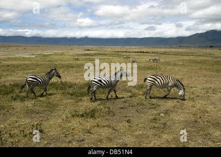 Tanzania A herd of Zebras grazing in the savannah at the Serengeti National Park - Stock Photo