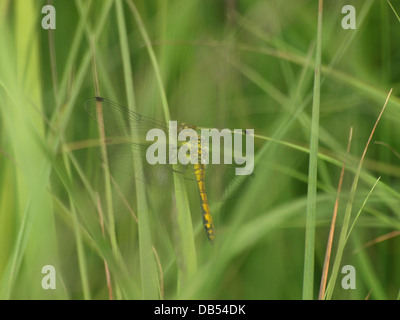 Black Darter / Sympetrum danae female rest on a blade of grass - Stock Photo