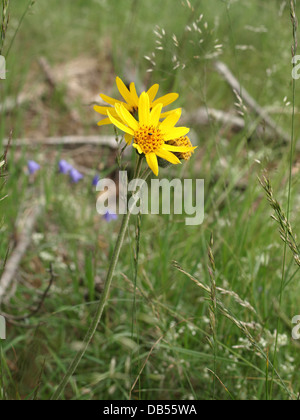 leopard´s bane, wolf´s bane, mountain tobacco, mountain arnica / Arnica montana / Echte Arnika - Stock Photo