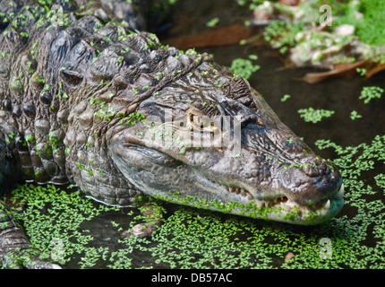 Spectacled Caiman ( caiman crocodilus) - Stock Photo