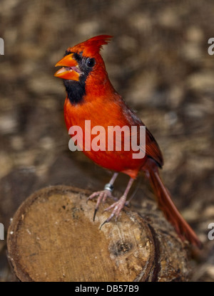 Northern Cardinal male (cardinalis cardinalis) - Stock Photo