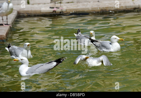 Seagulls try to cool down in a fountain as temperatures in Brighton soar - Stock Photo