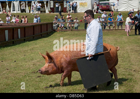 Tamworth pig being judged at the Great Yorkshire Show Harrogate North Yorkshire England UK United Kingdom GB Great - Stock Photo