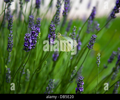 Cabbage white butterfly (Pieris rapae) male Lavender - Stock Photo