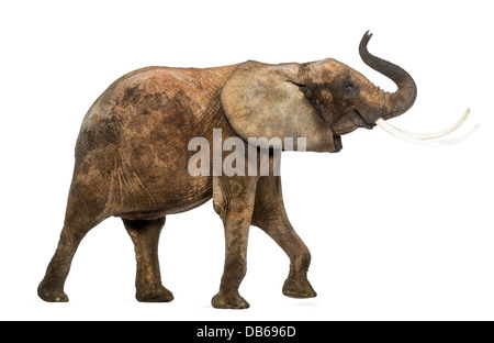 Side view of an African elephant, Loxodonta africana, lifting its trunk against white background - Stock Photo