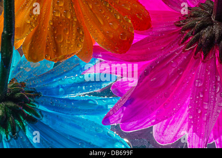 The Underside Of Colorful Wet Daisy Flowers - Stock Photo