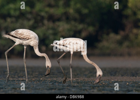 Juvenile Lesser Flamingos (Phoenicopterus minor) in Mumbai feeds primarily on Spirulina algae contain the photosynthetic - Stock Photo