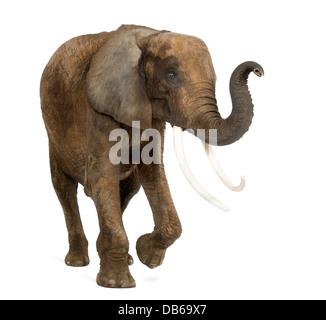 African elephant, Loxodonta africana, lifting its trunk against white background - Stock Photo