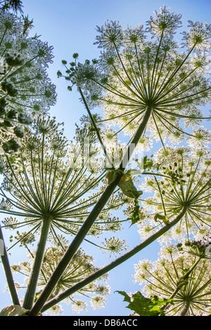 Worm's-eye view of Giant hogweed / cartwheel-flower (Heracleum mantegazzianum) close up against blue sky - Stock Photo