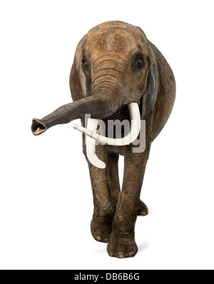 Front view of African elephant, Loxodonta africana, lifting its trunk against white background - Stock Photo