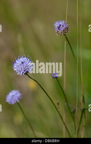 Sheep's Bit / Sheep Scabious (Jasione montana) in flower - Stock Photo