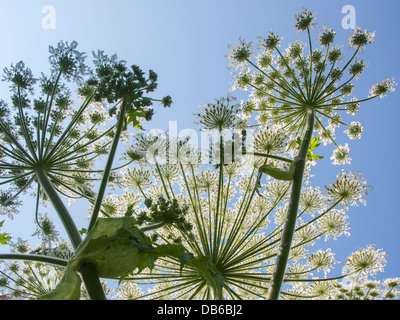 Worm's-eye view of Giant hogweed / cartwheel-flower (Heracleum mantegazzianum) close up against blue sky - Stock Photo