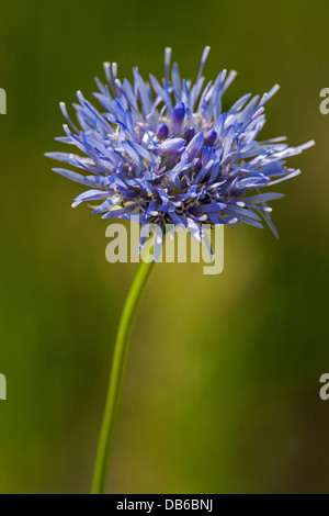 Close up of Sheep's Bit / Sheep Scabious (Jasione montana) in flower - Stock Photo