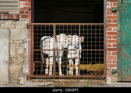 Two curious white calves tagged with earmarks in cow shed at dairy farm - Stock Photo