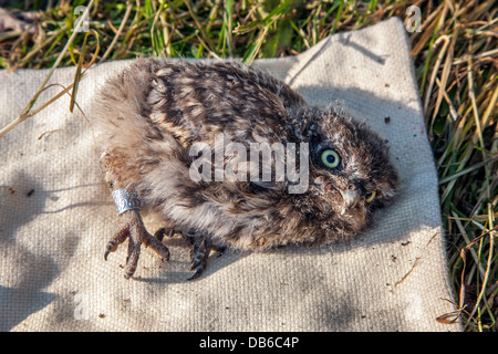 Little Owl (Athene noctua) owlet ringed with metal ring on leg by bird ringer in spring - Stock Photo