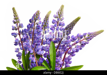 Wild lupines or bluebonnet flowers on white background - Stock Photo