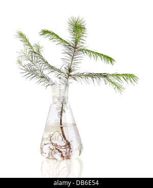Two young fir trees growthing in in chemistry test tube on white background - Stock Photo