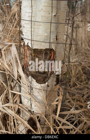 Protective metal wiring placed around a beaver damaged Birch tree. - Stock Photo